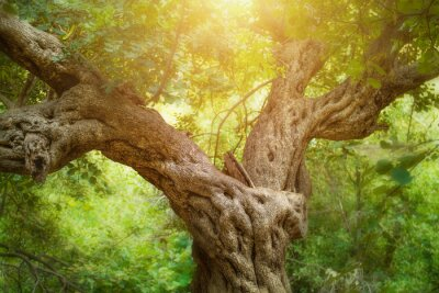 Fototapete Big Tree in Forest