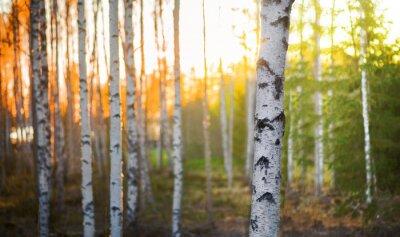 Fototapete Birch tree at sunset