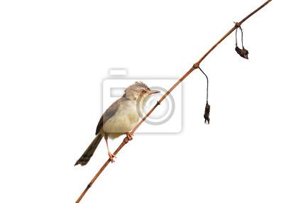 Bird (Plain Prinia) auf weißem Hintergrund