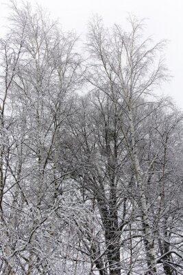 Fototapete Birke im Schnee bedeckt