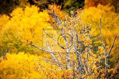 Birke Und Gelbe Blatter Im Herbst In Quebec Wald Kanada Fototapete