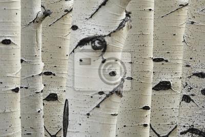Fototapete Birken in einer Reihe Nahaufnahmen von Stämmen
