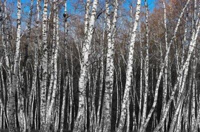 Fototapete Birkenhain, Schwarz-Weiß-Farbverlauf