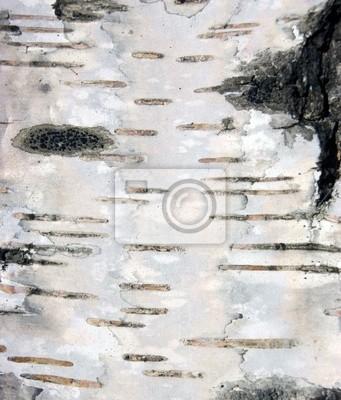 Fototapete birkenrinde  Birkenrinde textur hintergrund makro fototapete • fototapeten betula ...