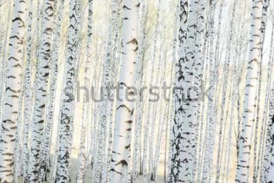 Fototapete Birkenwald im Sonnenlicht am Morgen