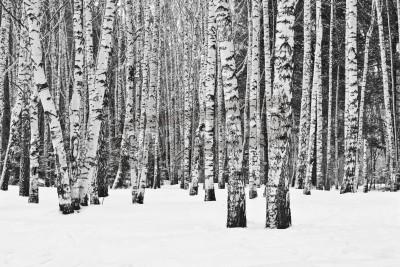 Fototapete Birkenwald im Winter in schwarz und weiß