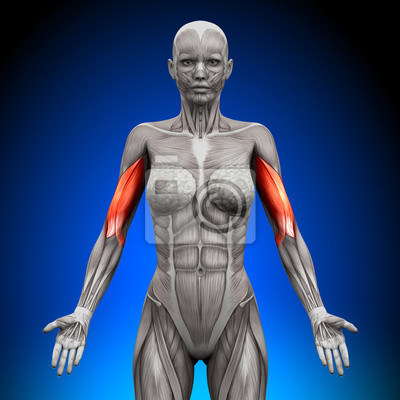 Bizeps - weibliche anatomie muskeln fototapete • fototapeten deltoid ...