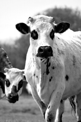 Fototapete black and white cow