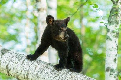 Fototapete Black Bear Cub (Ursus americanus) Schaltet den Zweig ein