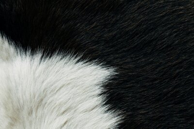 Fototapete Black cow hide background