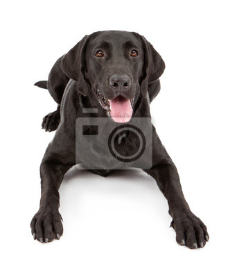 Fototapete Black Labrador Retriever Dog Laying