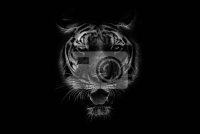 Fototapete Black & White Beautiful tiger on black background