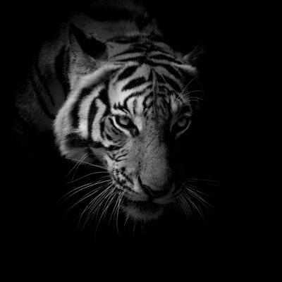 Fototapete black & white close up Gesicht Tiger auf schwarzem Hintergrund isoliert