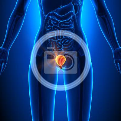 Blase - weibliche organe - human anatomy fototapete • fototapeten ...