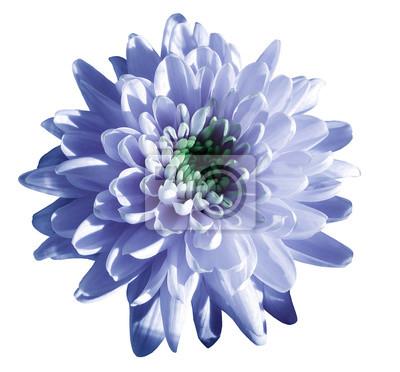 Blau-weiße blume chrysantheme, garten blume, weiß isoliert ...