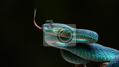 Fototapete Blaue Grubenviper von Indonesien