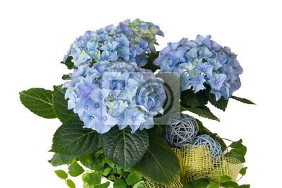 Blaue Hortensie In Einer Blumenschale Fototapete Fototapeten