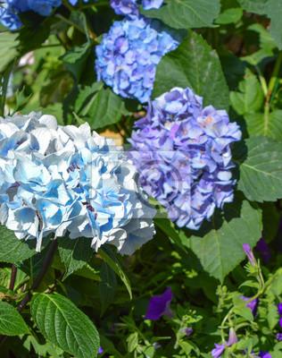 Blaue Und Violette Hortensie Hortensia Blüht Im Sommerpark