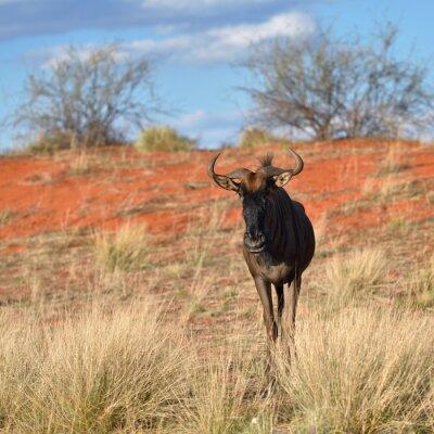 Fototapete Blaue Wildebeest-Antilope