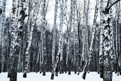 Fototapete Blick auf verschneiten Birkenwald im Winter