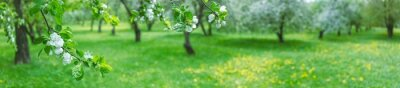 Fototapete blooming apple trees in spring. panoramic landscape photo of apple orchard
