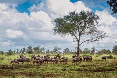 Blue wildebeest herd in green savannah in Kruger National park, South Africa ; Specie Connochaetes taurinus family of Bovidae
