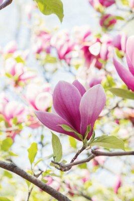 Fototapete Blühen von rosa Magnolien blüht im Frühling