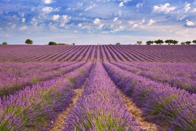 Fototapete Blühende Lavendelfelder in der Provence, Südfrankreich