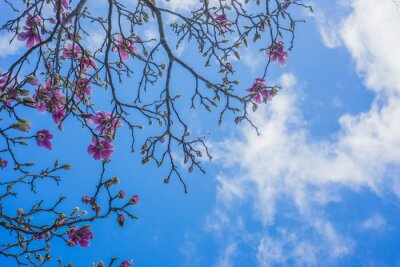 Fototapete Blühender Magnolienbaum
