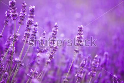Fototapete Blumen auf den Lavendelfeldern in den Bergen der Provence.