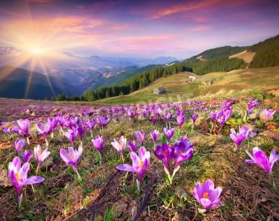 Fototapete Blüte der Krokusse im Frühjahr in den Bergen. Bunter Sonnenuntergang.