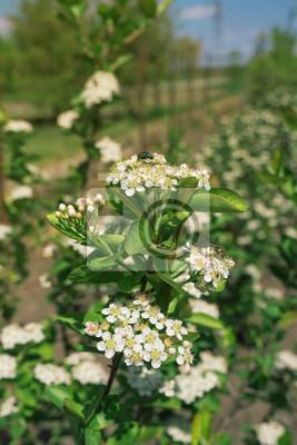 Fototapete Blüte von Aronia melanocarpa