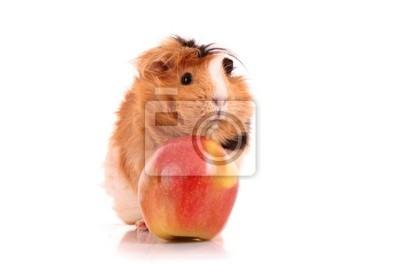 braun Meerschweinchen und roten Apfel auf weißem