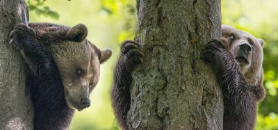 Fototapete Braune Bären auf einem Baum