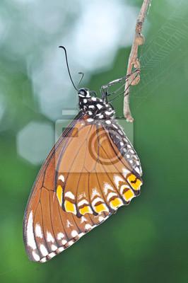 braune Schmetterling (Common Mime, Chilasa clytia)