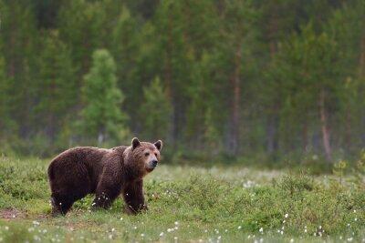 Fototapete Braunen Bären mit Wald Hintergrund