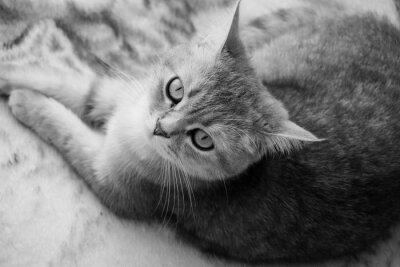 Fototapete Britische Katze - Schwarz und weiß