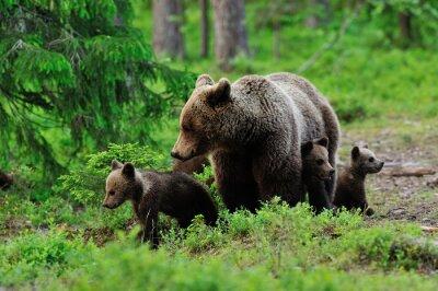 Fototapete Brown-Bär mit Jungen in den Wald