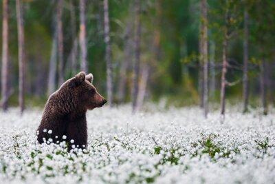 Fototapete Brown bear zwischen Wollgras