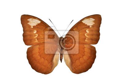 Brown Schmetterling isoliert auf weißem Hintergrund