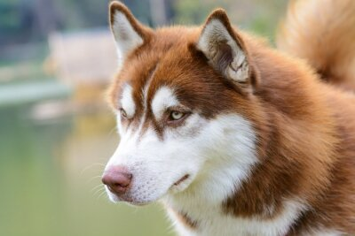 Fototapete Brown siberian Husky-Hund stehen