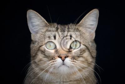Brown-Tabby-Katze