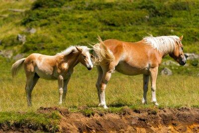 Fototapete Brown und White Mare mit Fohlen / Brown und weißes Pferd mit Fohlen im Berg. Nationalpark von Adamello Brenta, Trentino Südtirol, Italien