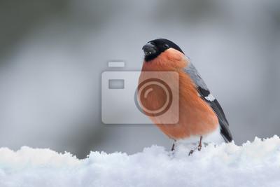 Bullfinch im Schnee