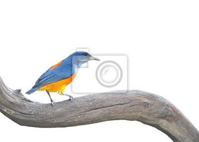 bunten Vogel getrennt (orange-aufgebläht Flowerpecker)