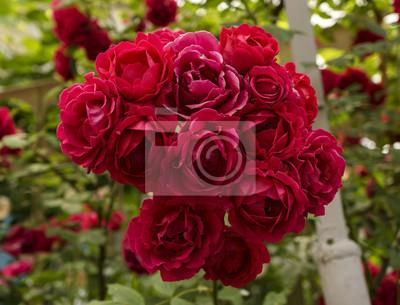 Bush of red rose blumen auf grünem gras fototapete • fototapeten ...