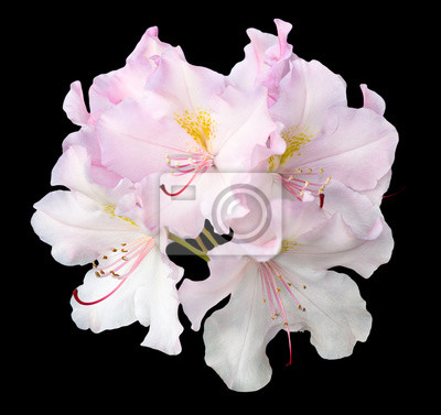 Bush von zarten weißen und rosa pelargonium blumen auf schwarz ...