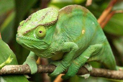 Fototapete Camaleão em Madagaskar