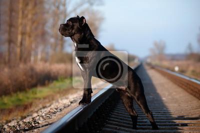Cane Corso Hund an der Bahnstrecke