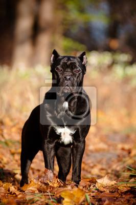 Cane Corso Hund Herbst Porträt